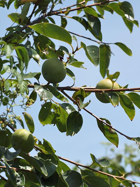 近所の柿の木