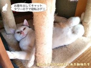 お腹を出してキャットタワーの下で寝転ぶデニ