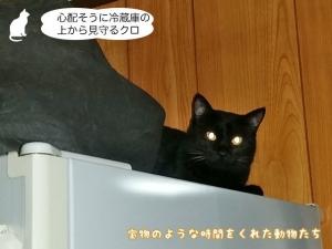 心配そうに冷蔵庫の上から見守るクロ