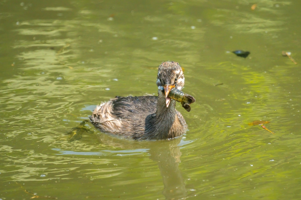 ザリガニを食べるカイツブリの若鳥さん (10Pic)
