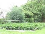 サツマイモ畑②