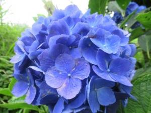 18紫陽花