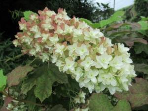 18柏葉紫陽花