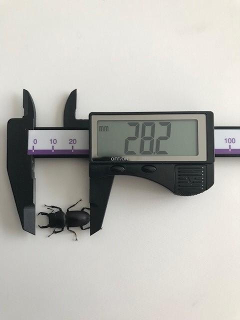 2019年7月18日採集スジクワ計測