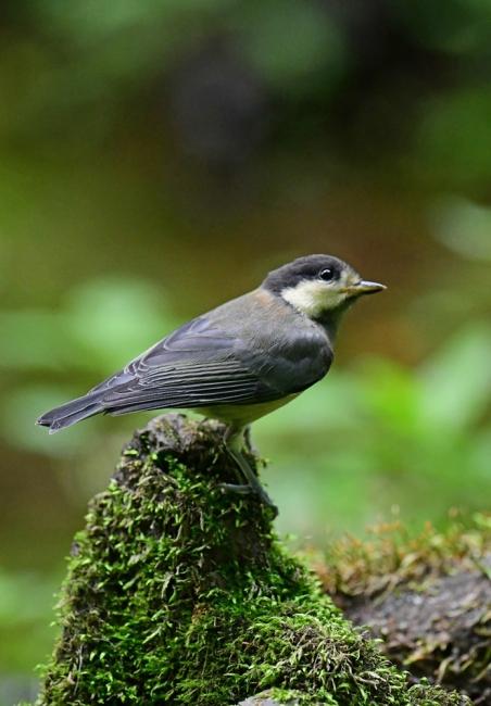 15432-ヤマガラ幼鳥-1