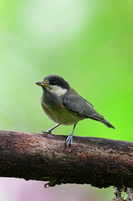 15433-ヤマガラ幼鳥-2