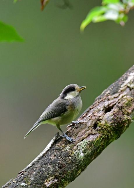 15434-ヤマガラ幼鳥-3