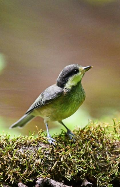 15435-ヤマガラ幼鳥-4