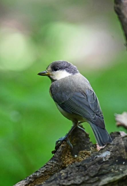 15436-ヤマガラ幼鳥-5