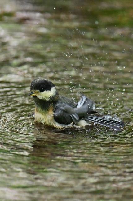 15444-ヤマガラ幼鳥-3