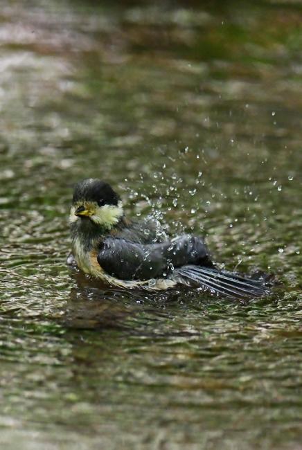 15446-ヤマガラ幼鳥-5