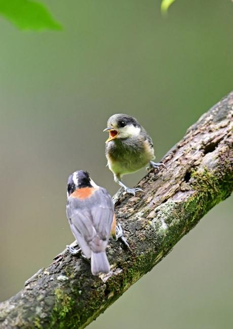15439-ヤマガラ幼鳥-3