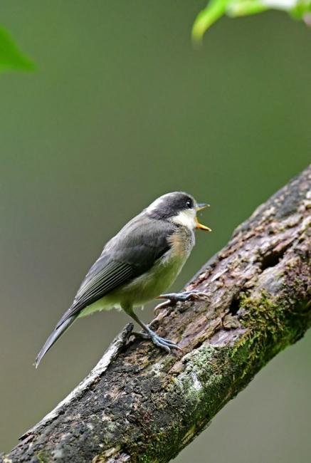 15440-ヤマガラ幼鳥-4