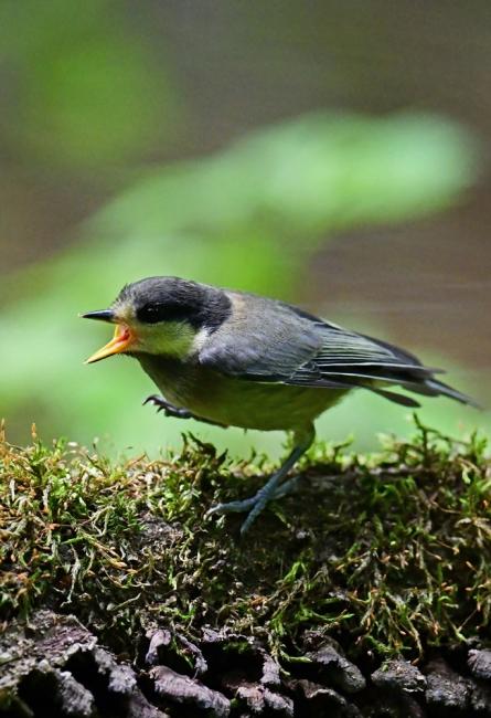 15441-ヤマガラ幼鳥-5