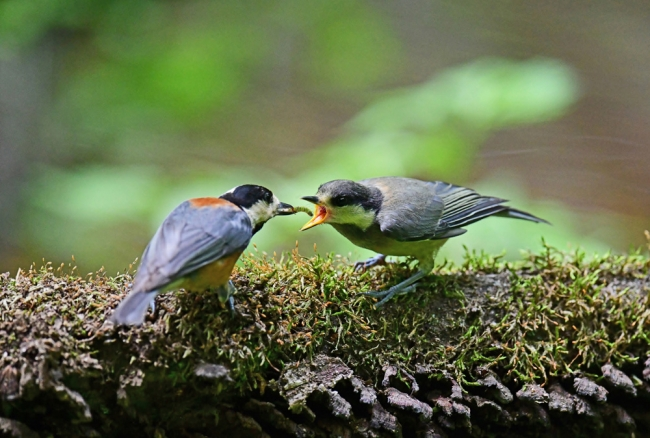 15437-ヤマガラ幼鳥-1
