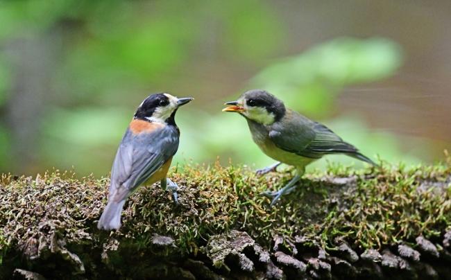 15438-ヤマガラ幼鳥-2
