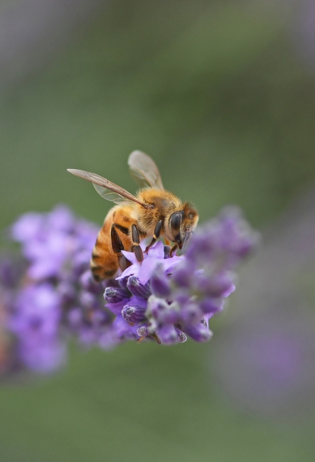 15453-蜜蜂-1