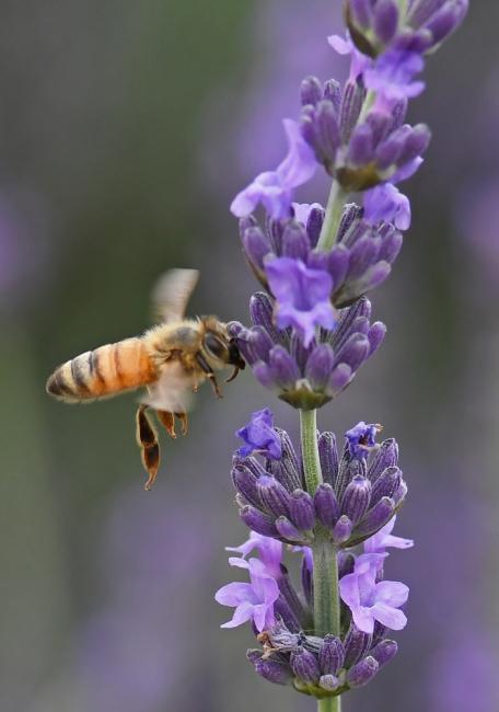 15454-蜜蜂-2