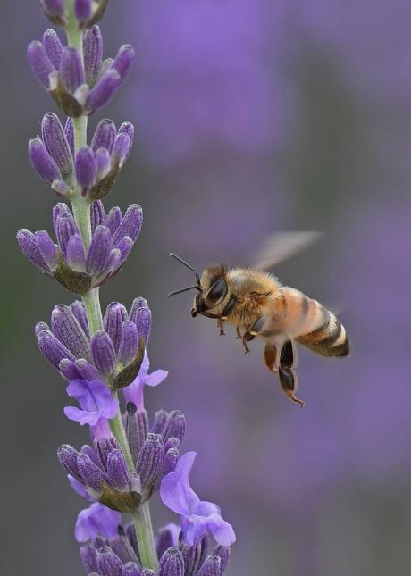 15455-蜜蜂-3
