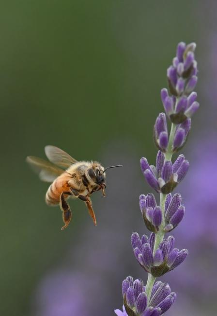 15456-蜜蜂-4