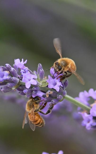 15457-蜜蜂-5