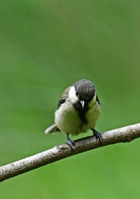 15492-シジュウカラ幼鳥-2