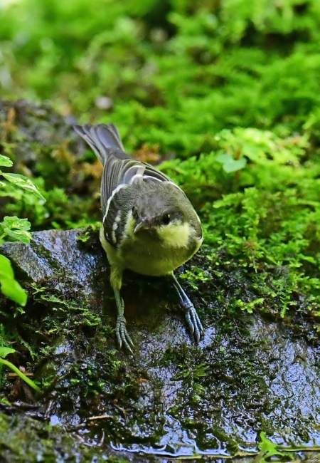 15493-シジュウカラ幼鳥-3