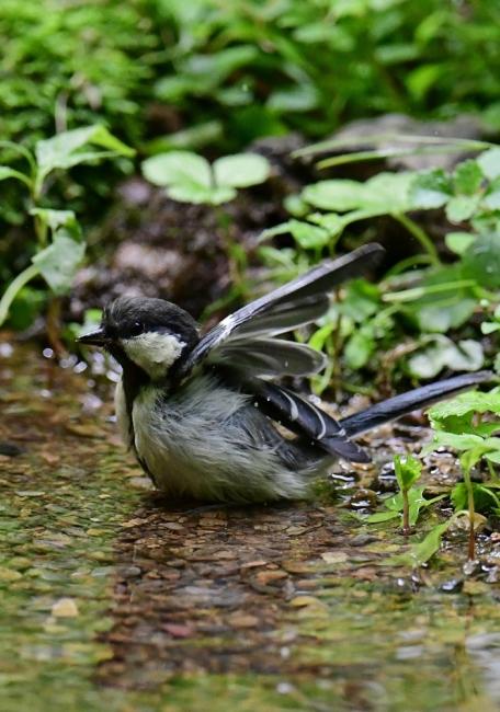 15494-シジュウカラ幼鳥-4