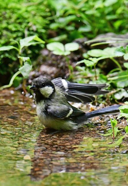 15495-シジュウカラ幼鳥-5