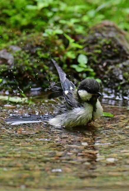 15496-シジュウカラ幼鳥-6