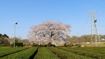 20190404茶畑の桜1