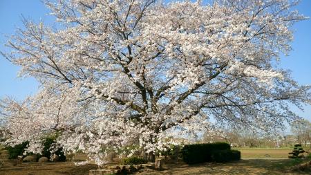 20190404茶畑の桜2