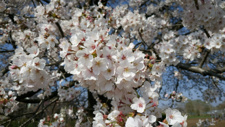 20190404茶畑の桜3