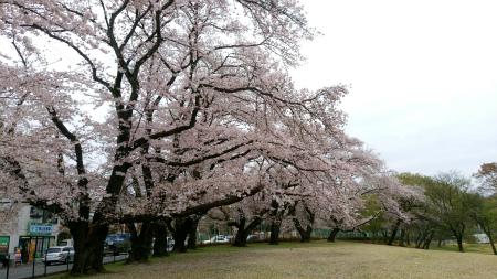 20190408稲荷山公園2