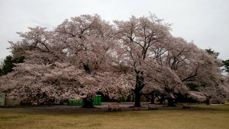 20190408稲荷山公園3