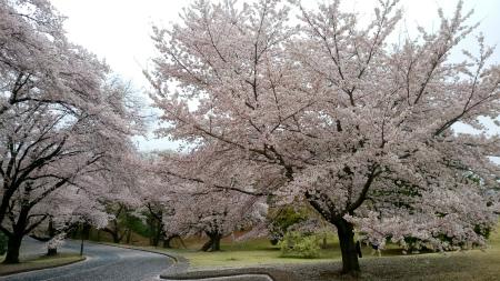 20190408稲荷山公園5