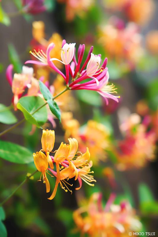 絶景探しの旅 - 1009 ハニーサックルの花 (ファーム富田/北海道 中富良野町)