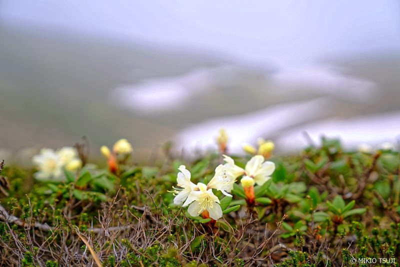 絶景探しの旅 - 1017 大雪山旭岳のキバナシャクナゲ (北海道 東川町)