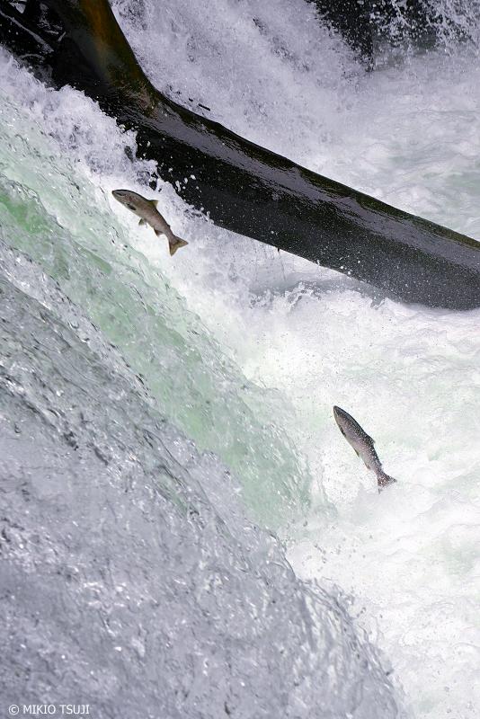 絶景探しの旅 - 1028 激流の滝に挑むサクラマス (さくらの滝/北海道 清里町)