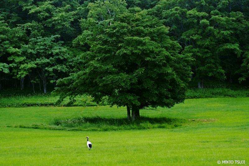 絶景探しの旅 - 1060 タンチョウの夏 (釧路湿原/北海道 釧路市)